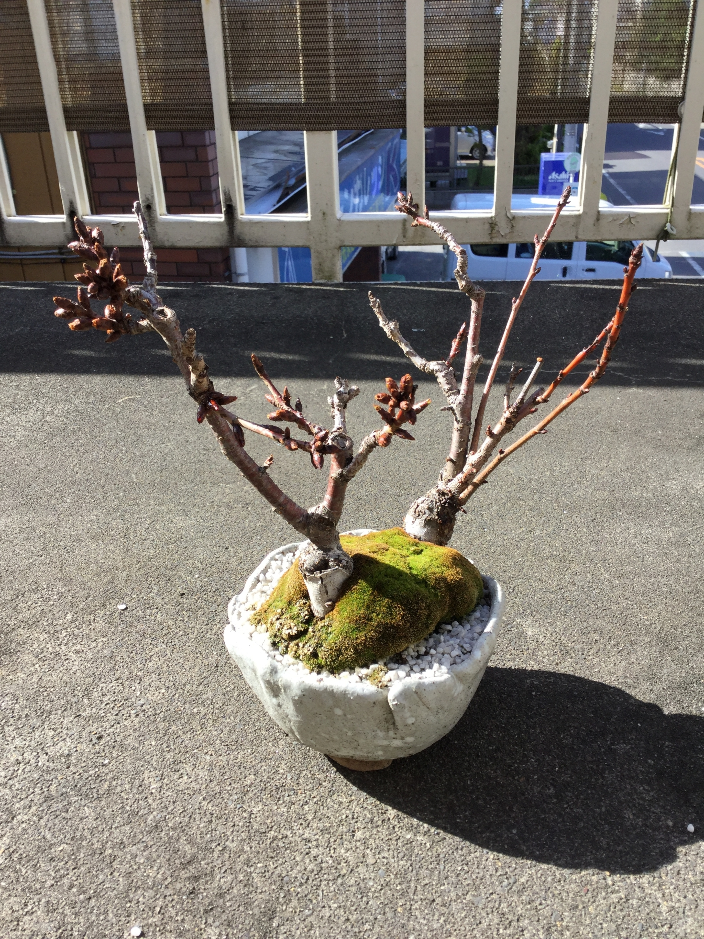 桜の盆栽2017
